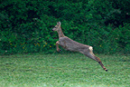 Female Roe deer running in the grass Vosges France� (Roe deer)