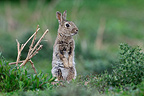 European Rabbit attentive Auvergne France (European rabbit)