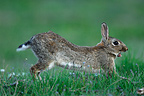 European Rabbit stretching in the grass Auvergne France  (European rabbit)