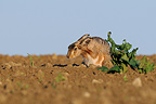 European Hare grooming in a field Vosges France� (European Hare )