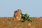 European Hare and plant in a plowed field Vosges France (European Hare )