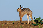 European Hare stretching in a field Vosges France� (European Hare )