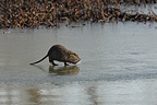 Nutria walking on the frozen Allier river in winter France  (Coypu)