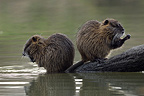 Coypu grooming on the side of the Allier river France (Coypu)