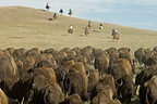 Cowboy pushing herd at Bison Roundup Custer State Park USA (Horse)