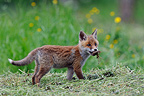 Young Red Fox playing in the hay Vosges France  (Red fox)