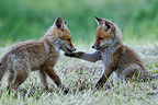 Young red foxes playing in the grass Vosges France (Red fox)