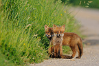 Young red foxes on a country road Vosges France� (Red fox)