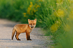 Young red fox on a country road Vosges France  (Red fox)