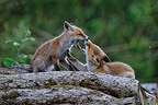 Young red foxes playing on a woodpile France (Red fox)