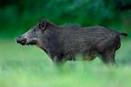 Boar on the grass Vosges France� (Wild boar)