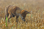Red Fox hunting in stubble field Vosges France (Red fox)
