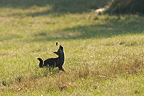 Red Fox hunting in grass Vosges France� (Red fox)