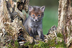 Young Red fox sitting near a dead tree spring Great Britain (Red fox)