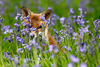 Young Red fox amongst bluebells spring Great Britain (Red fox )