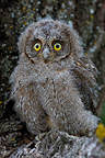 Young Common Scops-owl leaving the nest (Eurasian scops-Owl)