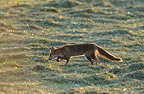 Red Fox hunting in hay Vosges France� (Red fox)