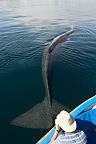 Sperm whale under a whale watching boat and tourist (Sperm whale )