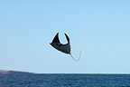 Leaping Mobula Ray high out of the water Gulf of California (Spinetail Mobula ray)
