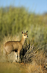 Klipspringer in savanna Augrabies Falls South Africa� (Klipspringer)