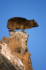 Rocks Hyrax  on a rock Augrabies Falls South Africa (Rock Dassie )