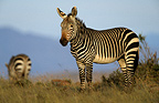 Cape Zebras National Park Mountain Zebra South Africa (Cape mountain zebra )
