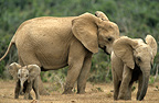 African elephant and young Addo South Africa  (African elephant)