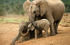 Young African elephants playing Addo South Africa  (African elephant)