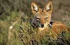 Portrait Fox Cape Addo South Africa� (Cape fox )
