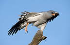 Pale Chanting-Goshawk stretching Kgalagadi South Africa (Pale Chanting-Goshawk)