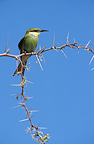 Swallow-tailed Bee-eater on a branch Kgalagadi South Africa (Swallow-tailed bee-eater)