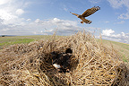 Hen Harrier female arriving at her protected nest, Saron-sur-Aube, France. Farmer has protected nest by avoiding mowing Barley on  4mx4m of land, which also protects them from predators. In two years of follow-up, fledging 100% successful.