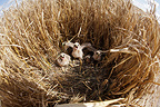 Montagu's Harrier chicks in their protected nest, Saron-sur-Aube, France. Farmer has protected nest by avoiding mowing Barley on  4mx4m of land, which also protects them from predators. In two years of follow-up, fledging 100% successful.