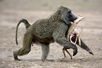 Anubis baboons fighting for young gazelle Masai Mara NR (Anubis baboon)