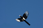 Magpie in flight from stealing an egg in a nest France (Magpie)
