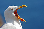 Portrait Yellow-legged Gull Island of Porquerolles France (Yellow-legged Gull)