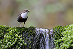 White-throated Dipper and Doue fall Franche-Comte (White-throated Dipper)