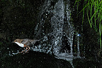 White-throated Dipper leaving the nest behind a waterfall  (White-throated Dipper)