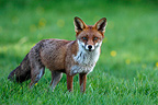 Female Red fox standing in a meadow spring GB (Red fox)