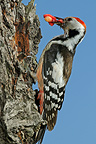 Middle Spotted Woodpecker feeding chicks with cherry, France