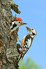 Middle Spotted Woodpecker couple feeding chicks, France