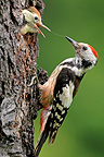 Middle Spotted Woodpecker feeding chick, France