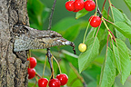 Wryneck throwing fecal of young France (Wryneck)