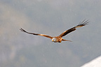 Red Kite flying Pyrenees (Red Kite)