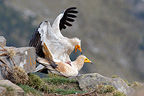 Egyptian Vultures mating, Ordesa NP, Pyrenees, Spain