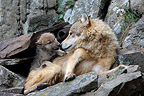 Wolf and 8 weeks young in the rocks Montana USA (Grey wolf)