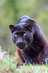 Black panther looking in the grass  (Black panther)