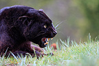 Black Panther aggressive lying in the grass� (Black panther)