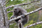 Young American Porcupine climbing into a tree USA  (American Porcupine)
