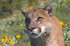 Portrait of Puma in a meadow flowers Montana USA� (Mountain lion )